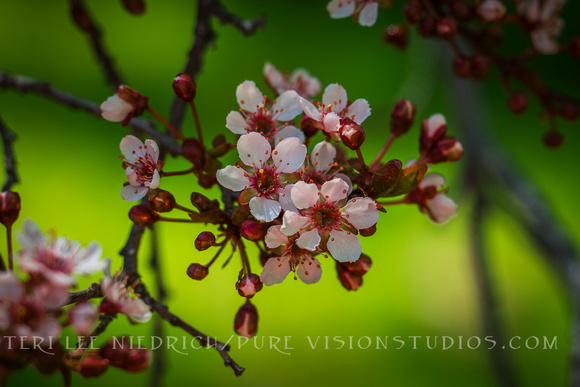 Sweet Plum Blossoms